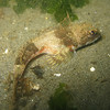 Reference Photo List of Sculpin of the Pacific Northwest (PNW) : 