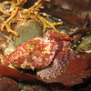 Sculpins of the Pacific Northwest, Northeast Pacific Ocean : 